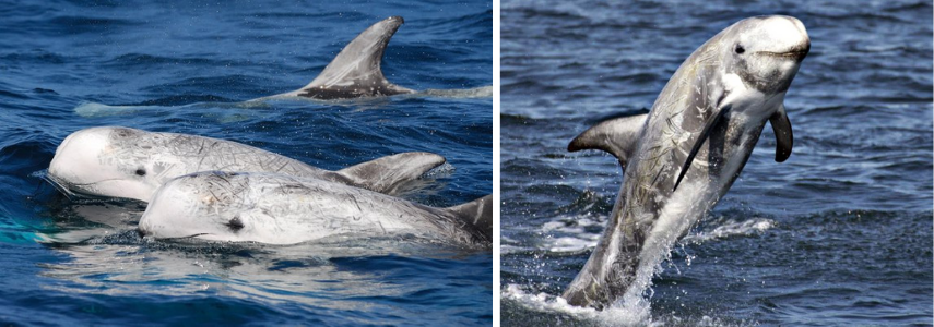 Краснокнижный серый дельфин