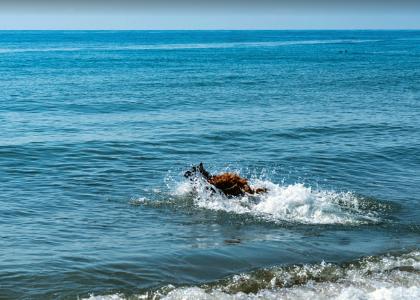 Собака в море