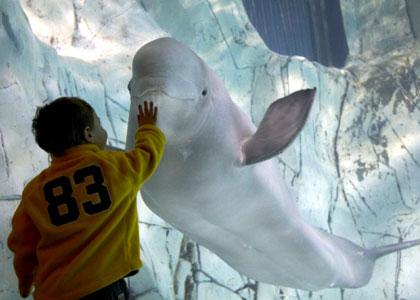 белуха в парке океанографик валенсия