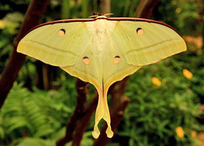 Actias selene в Бенальмаденском парке бабочек