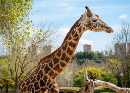 Жираф в Зоопарке Мадрида