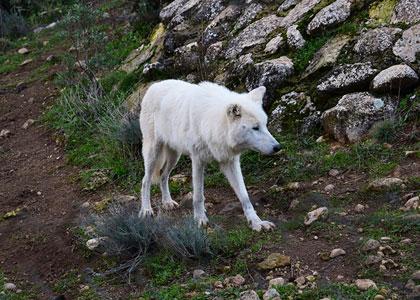 Белый волк в парке волков