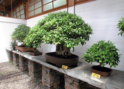 Деревья бонсай в Museo del Bonsai