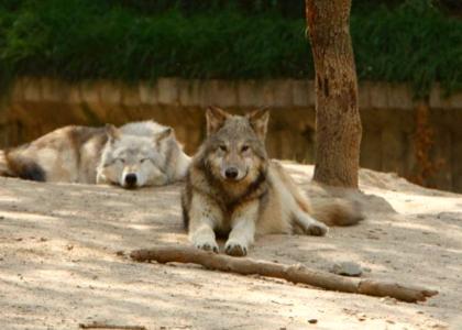 Иберийский волк