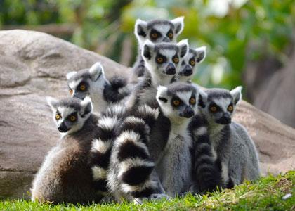 Кошачьи лемуры в биопарке Фуэнхиролы