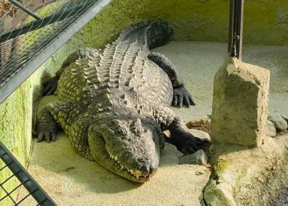 Крокодил в Crocodile Park