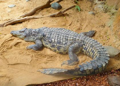 Крокодил в биопарке Фуэнхиролы