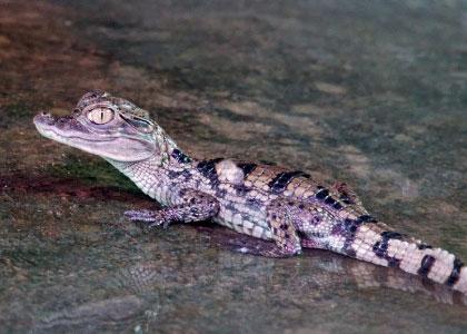 Маленький крокодильчик в Crocodile Park