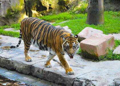 Тигр в биопарке Фуэнхиролы