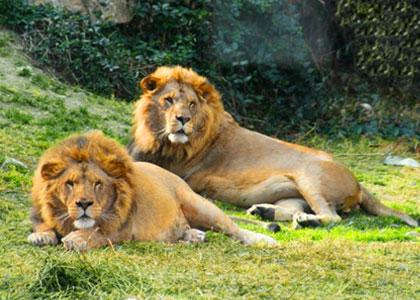 львы в парке Selwo Aventura