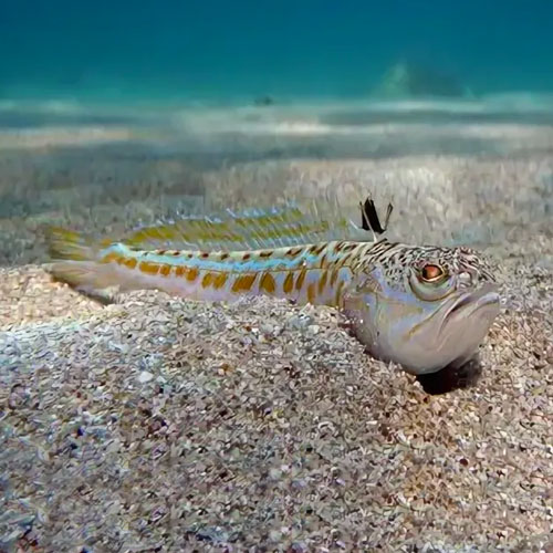 Аранья (морской дракон)