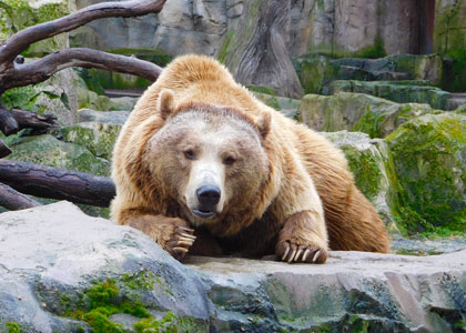 Бурый медведь в зоопарке на территории Casa de Campo