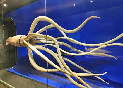 Чучело гигантского кальмара в Национальном музее естественных наук в Мадриде