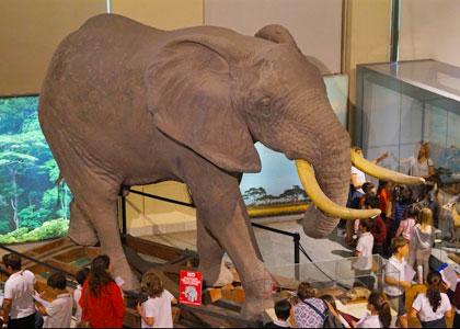 Чучело слона в Национальном музее естественных наук в Мадриде