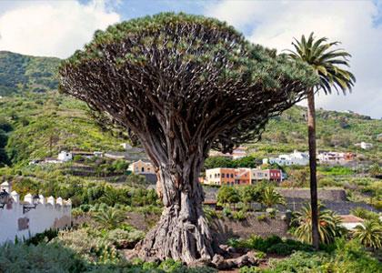 Драконово дерево в парке Драго