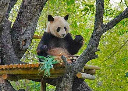 Панда в зоопарке на территории Casa de Campo