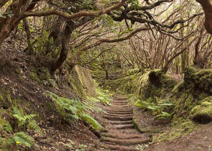 Реликтовый лес на Тенерифе