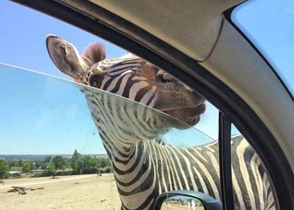 Зебра в парке Safari Madrid